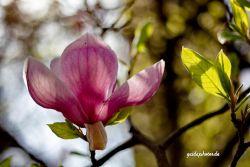 Blumen, Blüten,Magnolie, pink