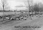 Köln Rodenkirchen: Schafe am Rheinufer