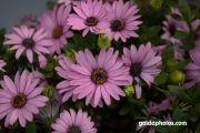 Keuckenhof, Blüte, pink