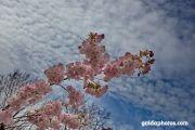 Keuckenhof, Kirschblüte