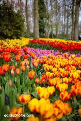 Keuckenhof, Park, Tulpen