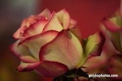 Rose, gelb rot