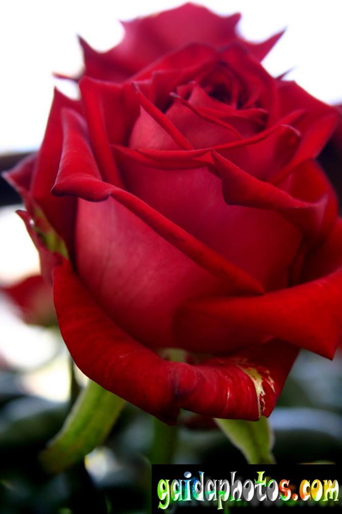 Motive für geburtstagskarten rose rot