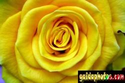 Motive für Geburtstagskarten, Rose, gelb