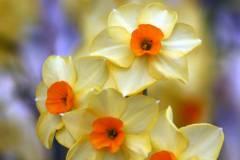 Osterbilder - Osterblumen