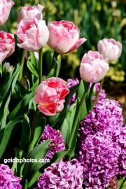 Osterkarte, Tulpen rot, Hyazinthen