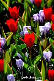 Osterkarte, Tulpen rot, Krokus