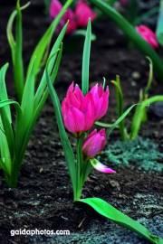 Osterkarte, Tulpen pink