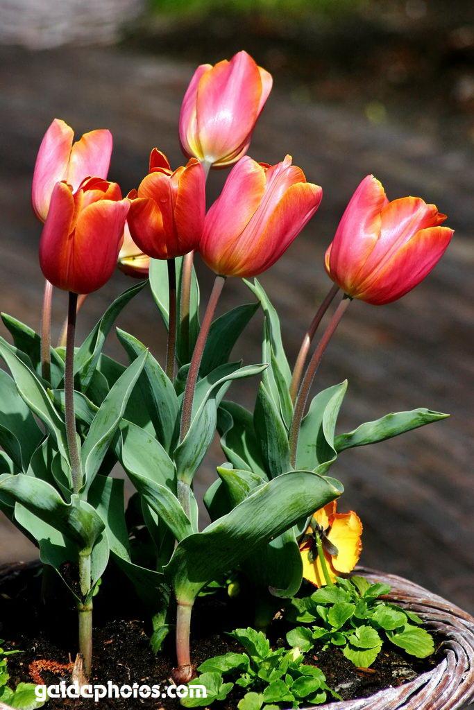 Osterkarte, Tulpen rot