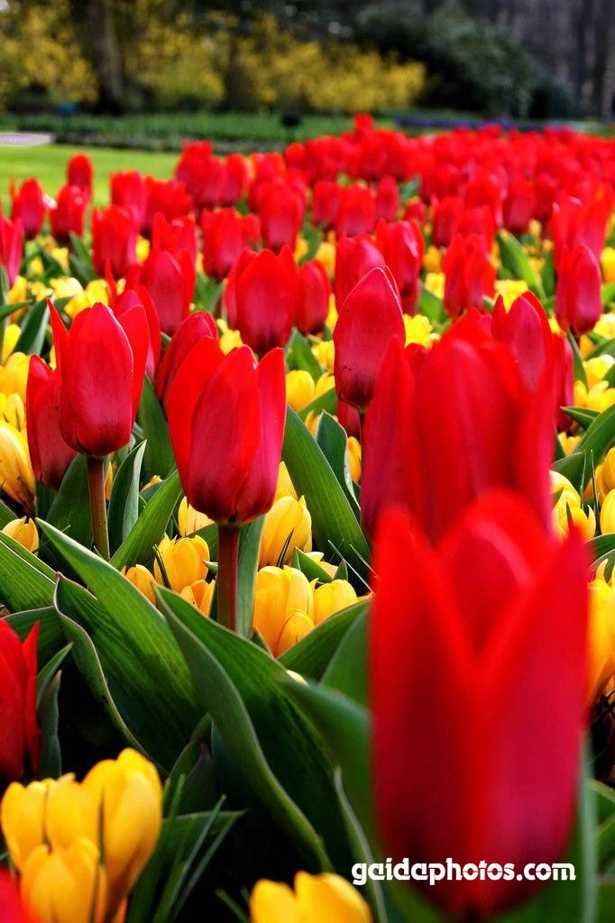Osterkarte, Tulpen rot, Krokus gelb