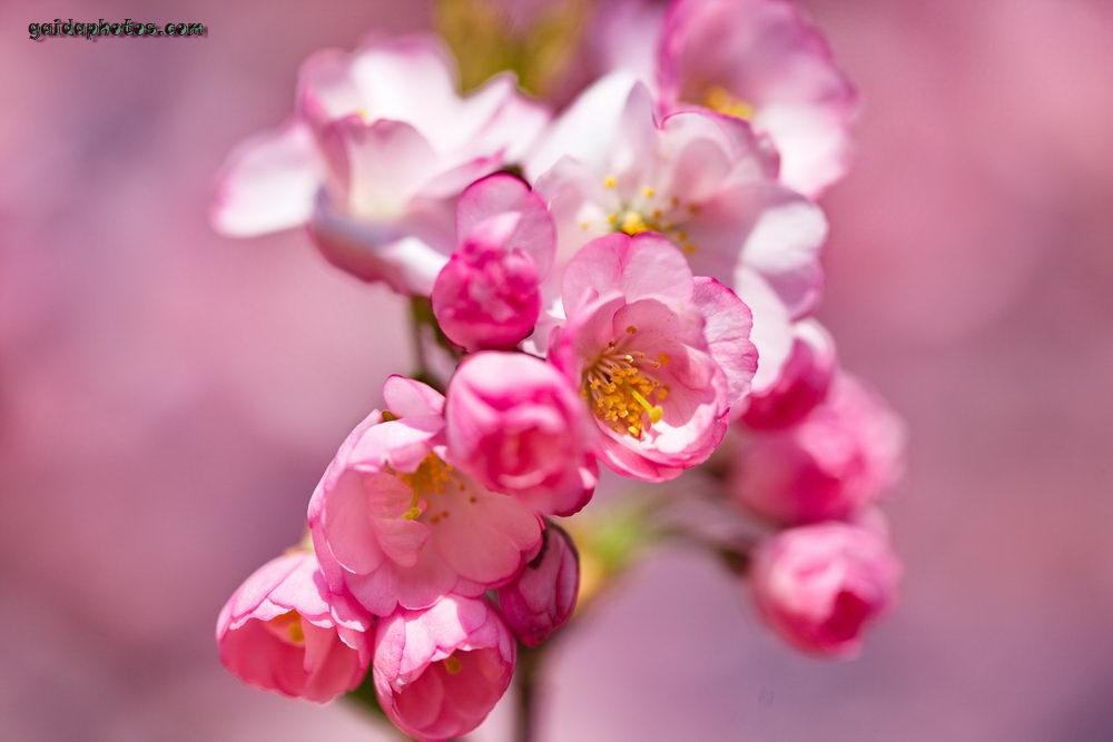 Kirschblüte im Forstbotanischen Garten Köln