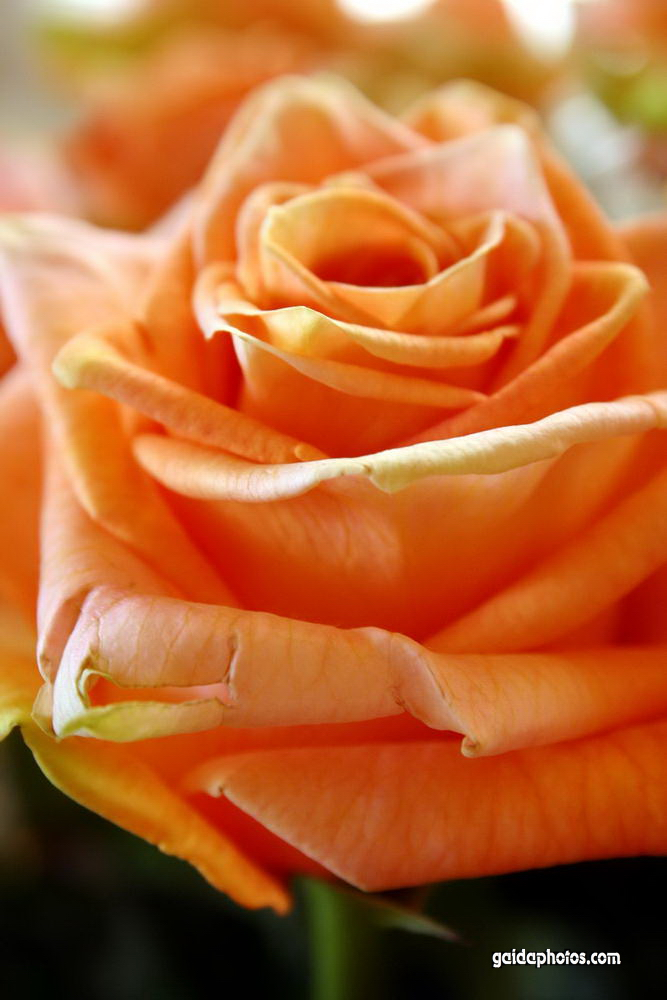 rosen verschicken lassen