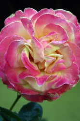 pink-gelbe Rose